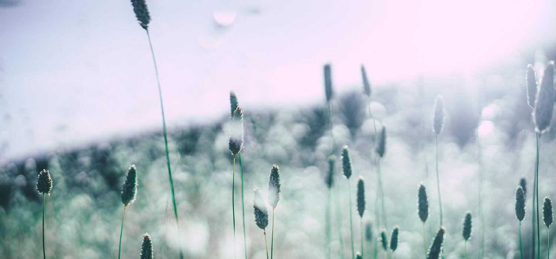 Eine Wiese mit Grashalmen, bei denen der Pollenflug gut zu erkennen ist.